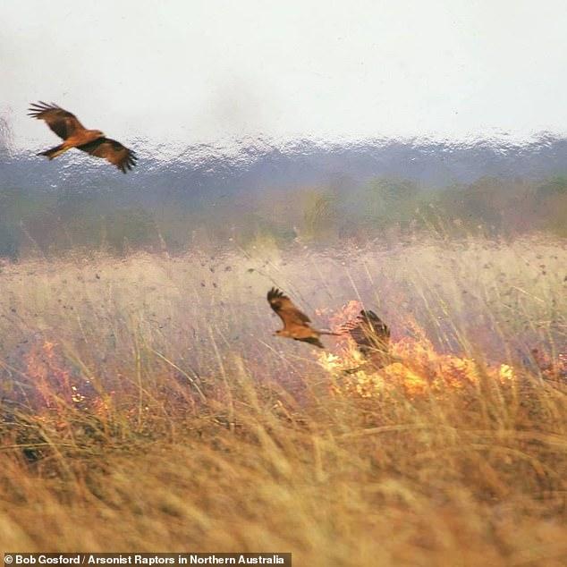 Úc: Chim thông minh biết dùng lửa để săn mồi, khiến cháy rừng trở thành đại họa - 1