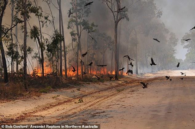Úc: Chim thông minh biết dùng lửa để săn mồi, khiến cháy rừng trở thành đại họa - 2