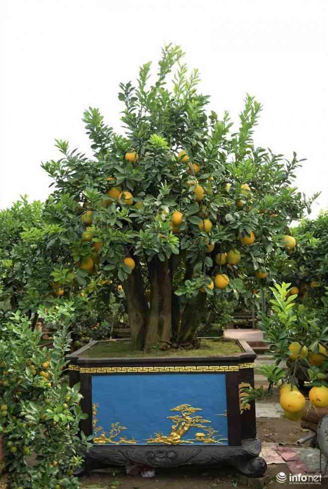Vườn bưởi cổ thụ tiền tỷ ở Hưng Yên được nhiều đại gia xuống tiền chơi Tết - 1