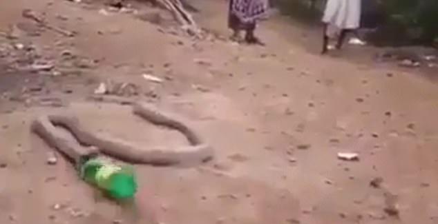 Video: Rắn hổ mang vật lộn nôn ra cả một chai nhựa gây ám ảnh - 1