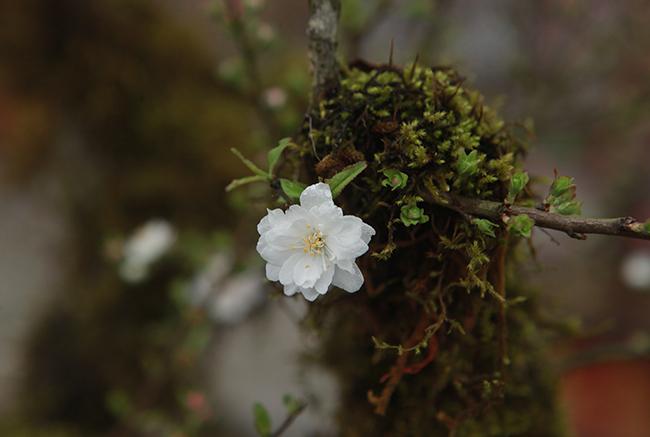 Giá mai trắng đắt vì đây là loại cây hiếm và rất khó trồng,chỉ phù hợp với thời tiết giá lạnh.