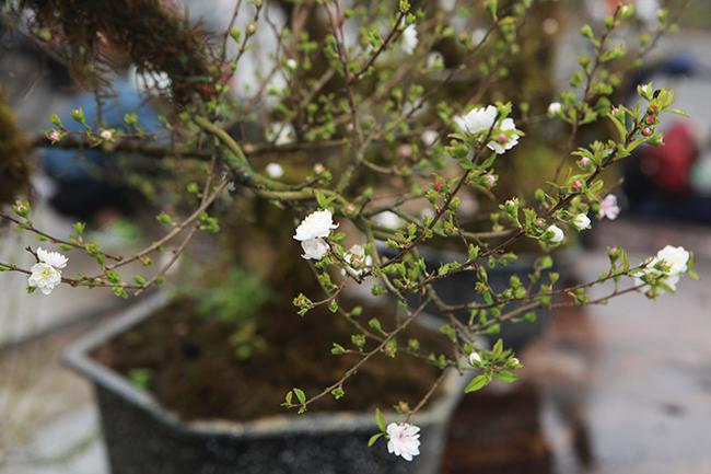 Thời điểm này, dù chưa đến Tết Nguyên đán nhưng những cây mai được trưng bán đã bắt đầu nởhoa trắng tinh, giữa nhụy có điểm màu hồng rất đẹp mắt.