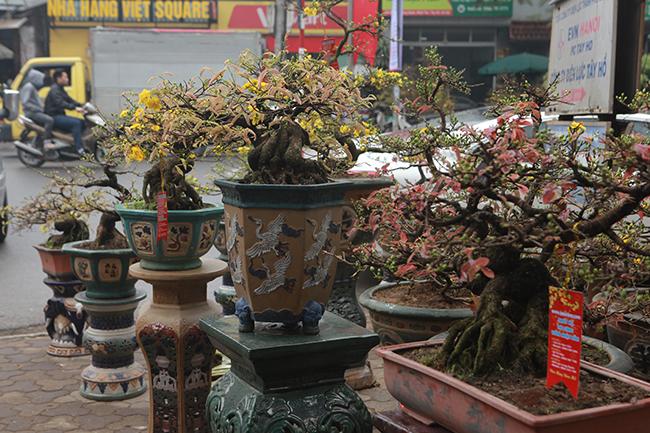 Trên đường Lạc Long Quân (Tây Hồ, Hà Nội), một nhà vườn bày bán những gốc mai vàng bonsai cổ thụ thu hút người dân đến xem, mua về chơi Tết.