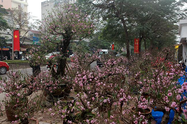 Hàng chục cây đào phai Mộc Châu (Sơn La) đã xuất hiện trên đường Lạc Long Quân (Tây Hồ). Giá mỗi cây đào dao động từ 10 – 120 triệu đồng.
