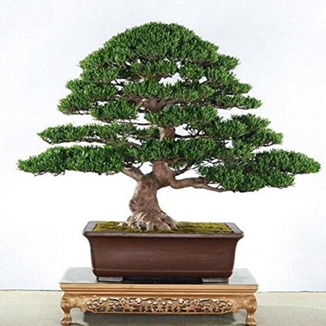Vạn niên tùng là cây có thế đẹp và được nhiều người chuộng. Chúng thường được trồng để làm cảnh.