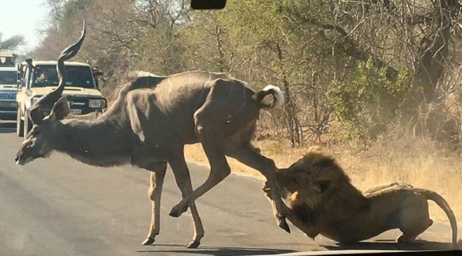 Video: Sư tử phi ra giữa đường săn linh dương, bị đạp không ngừng vào mặt - 1