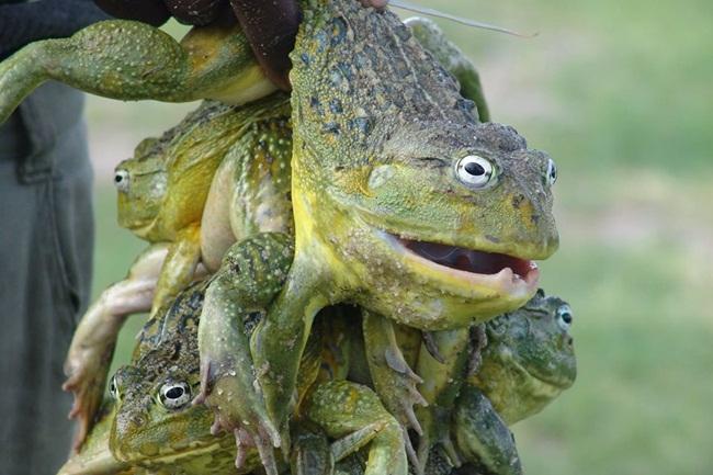 Bullfrog là một loài ếch nổi tiếng ở Namibia. Tuy nhiên, việc ăn chúng không hề đơn giản, chỉ một sai sót nhỏ có thể tử vong.