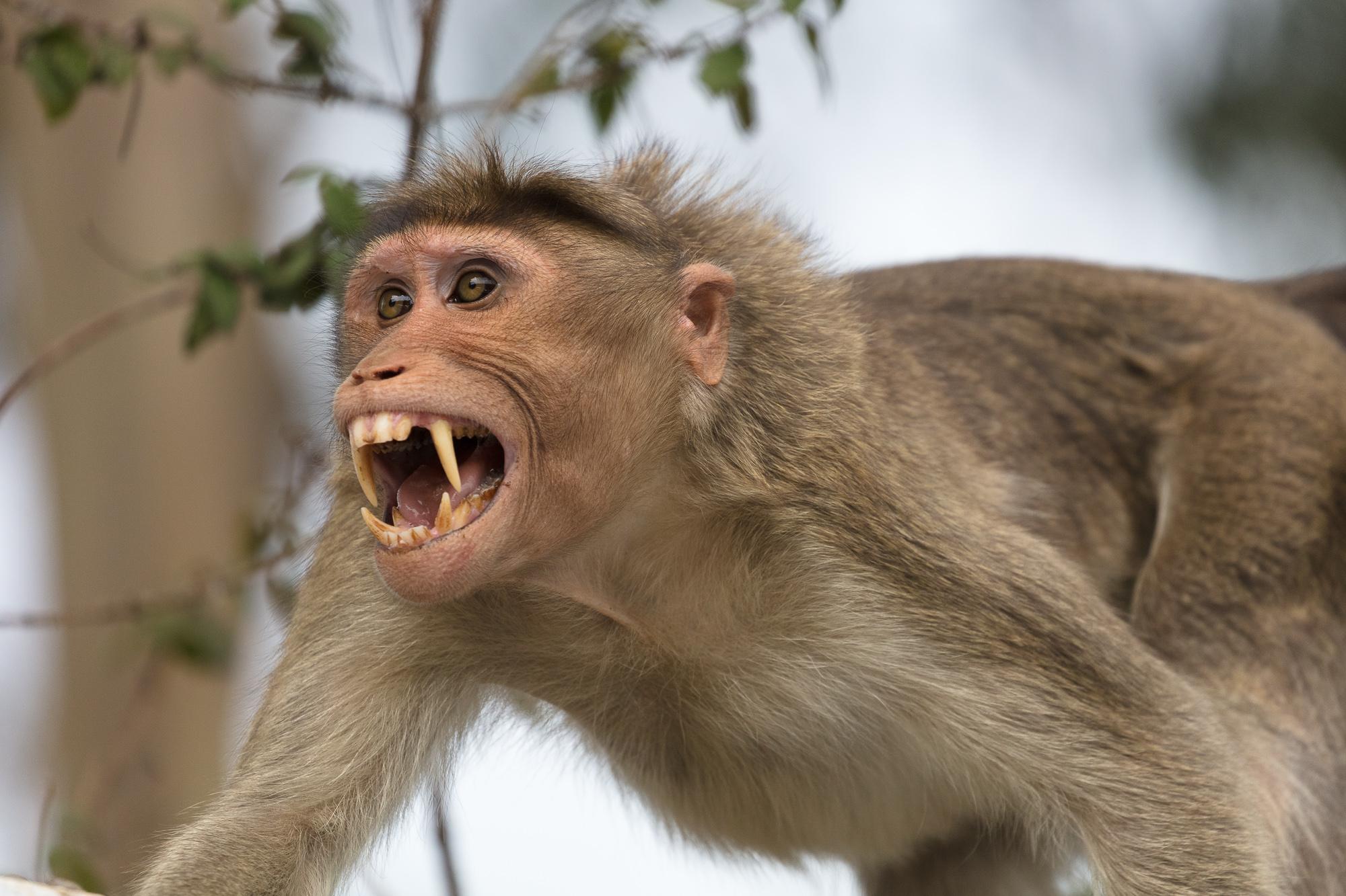 Ấn Độ: Khỉ hung dữ tấn công hơn 50 người, cả đội đặc nhiệm được cử đến đối phó - 1