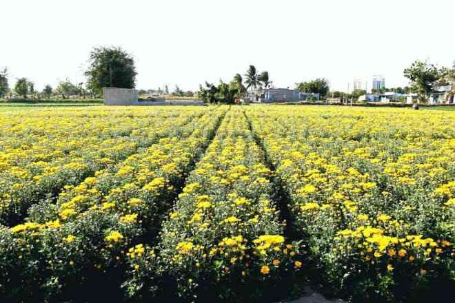 Chiêm ngưỡng cánh đồng cúc vàng đẹp mê mải chờ đón Tết ở Ninh Thuận - 1