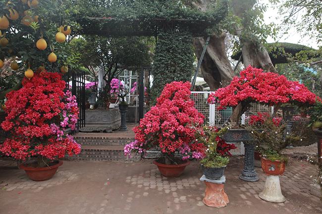 Những cây hoa giấy màu hồng đặc trưng đan xen trắng rất bắt mắt xuất hiện tại chợ hoa Tết (Long Biên, Hà Nội) khiến người dân thích thú.