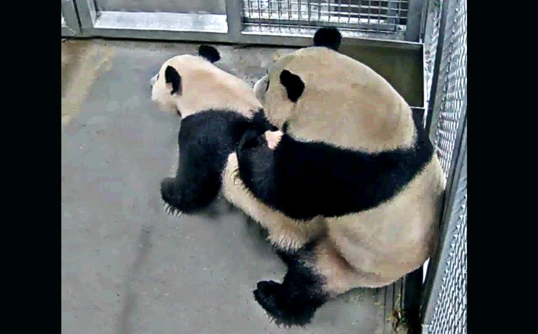 """Sở thú Hà Lan phát cảnh gấu trúc khổng lồ """"làm chuyện ấy"""" cho cả thế giới xem - 1"""