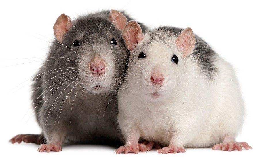 Mất bao lâu để thuần hóa chuột hoang thành chuột nuôi? - 1