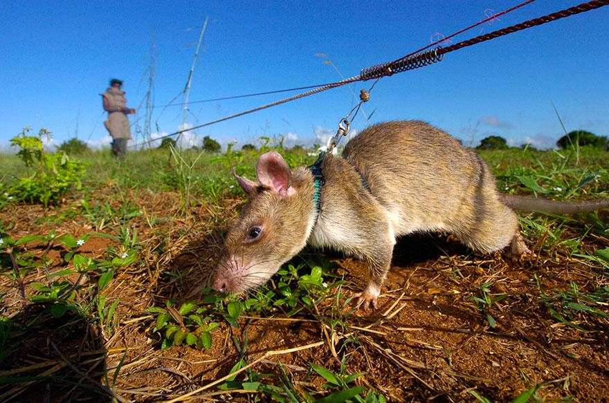 """""""Biệt đội chuột"""" to như mèo làm nhiệm vụ đầy nguy hiểm - 1"""