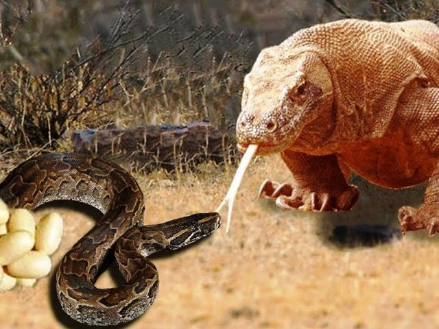 Rắn hổ mang chúa nhận cái kết thảm vì dám đối đầu rồng Komodo