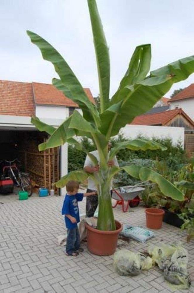 Chuối cô đơn là một cây trồng có nguồn gốc từ Trung Quốc, Nepal, Ấn Độ, Myanmar.