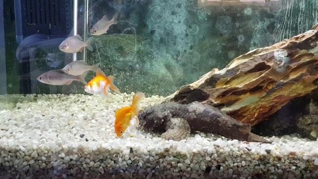 Chúng ăn các loại cá khác và có cách tấn công con mồi là chờ đợi rồi hạ gục bằng cái miệng và cơ thể khá lớn.