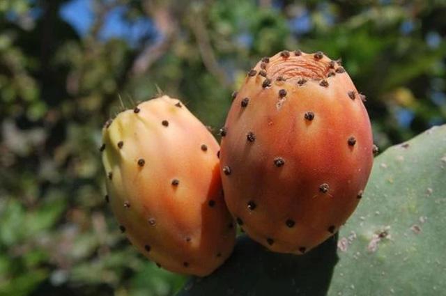 Không ngờ loại cây toàn gai góc, tưởng không thể ăn được lại cho loại quả cực ngon, bổ dưỡng - 5