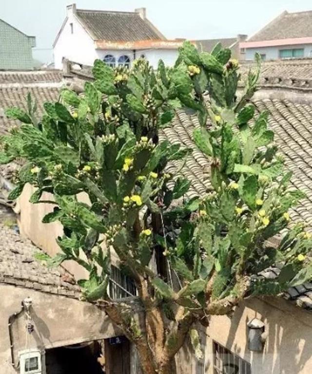 Không ngờ loại cây toàn gai góc, tưởng không thể ăn được lại cho loại quả cực ngon, bổ dưỡng - 8