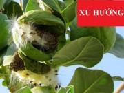 Tin tức sức khỏe - Việt Nam tiêu diệt thành công đờm, ho, khó thở dai dẳng là nhờ lá này