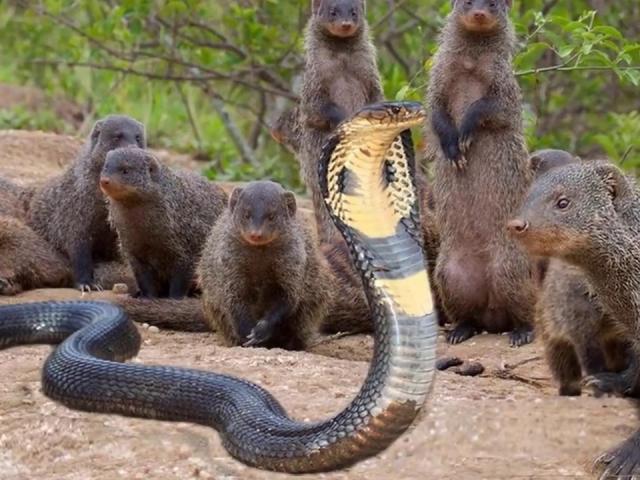 """Gây sự rắn hổ mang, """"chí phèo"""" của thế giới động vật bị dạy bài học nhớ đời"""