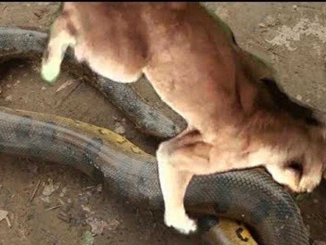 Mèo rừng đối đầu với trăn khổng lồ và cái kết bất ngờ