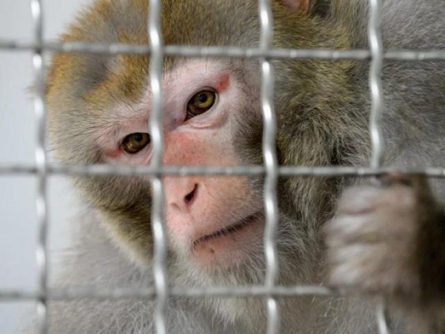 Thế giới - TQ: Phát hiện điều quan trọng sau khi cho 4 con khỉ nhiễm Covid-19