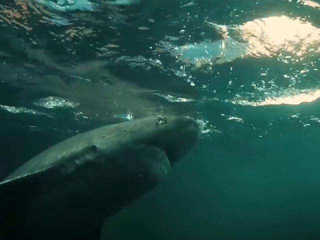 Phát hiện cá mập hơn 500 tuổi vẫn bơi lội khỏe mạnh