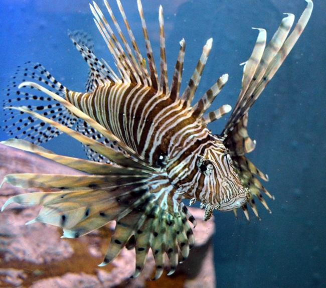Nhìn bên ngoài, chúng có vẻ đẹp quyến rũ dưới biển, nhưng không ai biết được đằng sau những chiếc gai của loài cá này chứa độc.