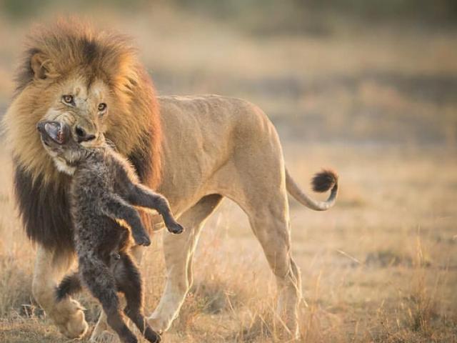 """Sư tử đực thoát chết trước bầy linh cẩu nhờ màn """"hộ giá"""" kịp thời"""