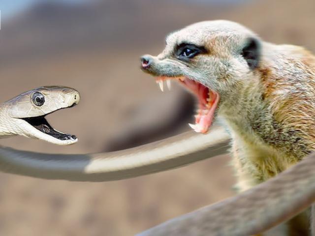 """Pha """"tiếp sức"""" sóc của cầy mangut đối phó rắn hổ mang"""