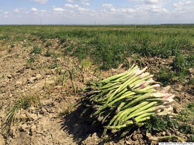 Tuy nhiên, từ năm thứ 2, cây măng tây có thể đã cho thu hoạch một ít.