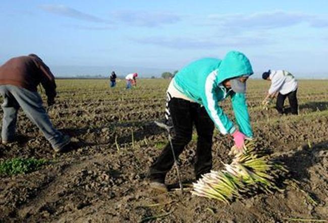 Người trồng có công thức thu hoạch 1-2-4-8 tuần: thu hoạch trong 1 tuần ởnăm thứ hai, 2 tuần năm thứ ba, 4 tuần năm thứ tư và lên đến 8 tuần năm thứ năm và năm tiếp theo.