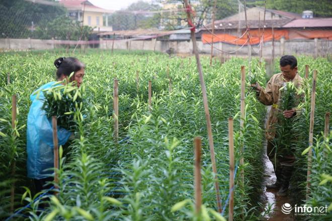 """Giá hoa loa kèn Hà Nội giảm 50-60%, người trồng hoa """"đau đầu"""" vì thất thu - 1"""