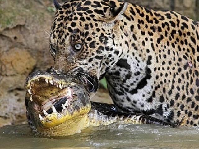 """Liều lĩnh đơn độc """"tử chiến"""" với 4 cá sấu và cái kết bi thảm cho báo săn"""