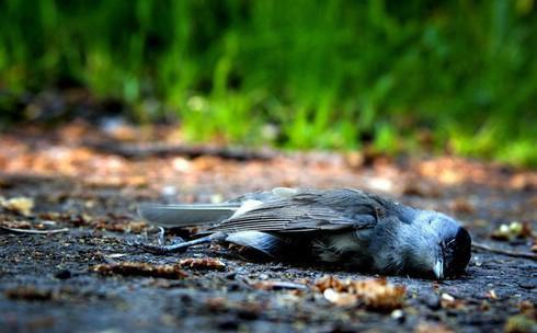 Bí mật về vùng đất khiến hàng ngàn con chim đua nhau tự sát - 1