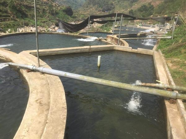 Cá hồi Sa Pa rớt giá chưa từng có, người nuôi lao đao vì không có nơi tiêu thụ - 1
