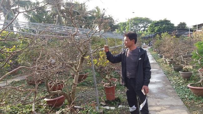 """Nông dân """"điều khiển"""" vườn mai Yên Tử ra hoa dịp Tết, mỗi vụ thu cả tỷ đồng - 1"""