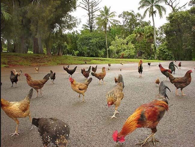 Hòn đảo kỳ lạ, đi đâu cũng thấy gà, từ bãi biển tới sân bay - 1