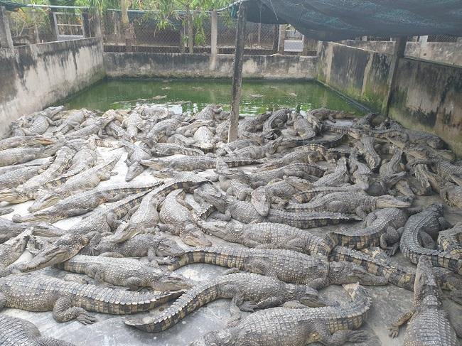 Ế ẩm, hàng nghìn con cá sấu bị bỏ đói, dân nuôi thua lỗ hàng tỷ đồng - 1