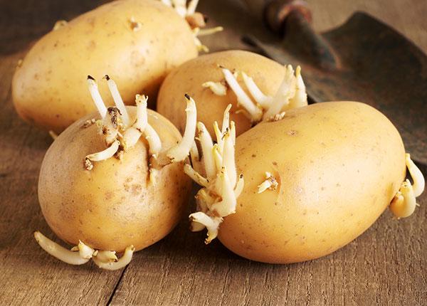 Ngày Tết ăn khoai tây mọc mầm có thể tử vong do hệ thần kinh trung ương bị tê liệt - 1