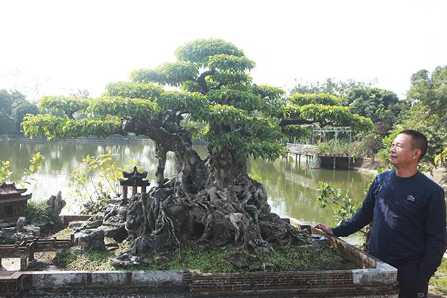 Anh Đinh Văn Tuấn (ở xã Đông Mỹ, Thanh Trì, Hà Nội) - chủ nhân tác phẩm sanh cổ dáng làng - cho biết cây sanh này rất đặc biệt, lá của nó như một dòng đột biến. Cây có 5 thân nhưng lại rất côn rụt nhìn như một cây cổ thụ thu nhỏ.