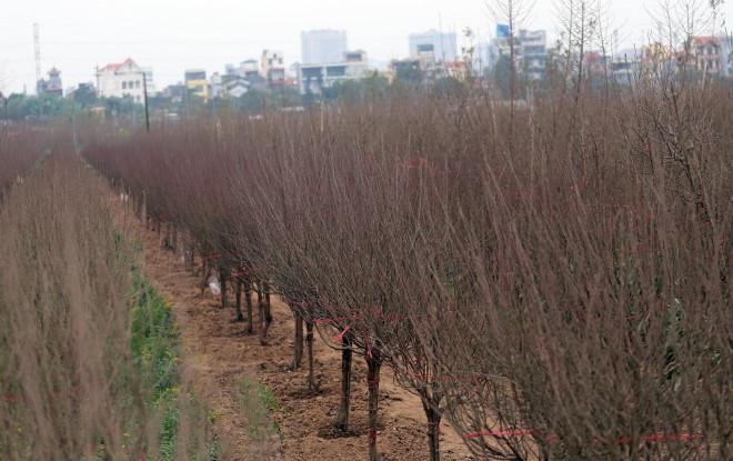 Hà Nội: Rét kỷ lục, nông dân Nhật Tân lo ủ ấm cho đào kịp phục vụ Tết Nguyên đán - 1