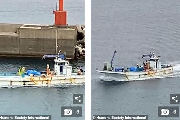 Video: Cá voi minke bị ngư dân Nhật dìm chết dưới biển gây phẫn nộ - 1