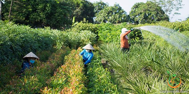 Cây Giống 4S - Đồng hành cùng mục tiêu 1 tỷ cây xanh của Thủ tướng chính phủ - 1