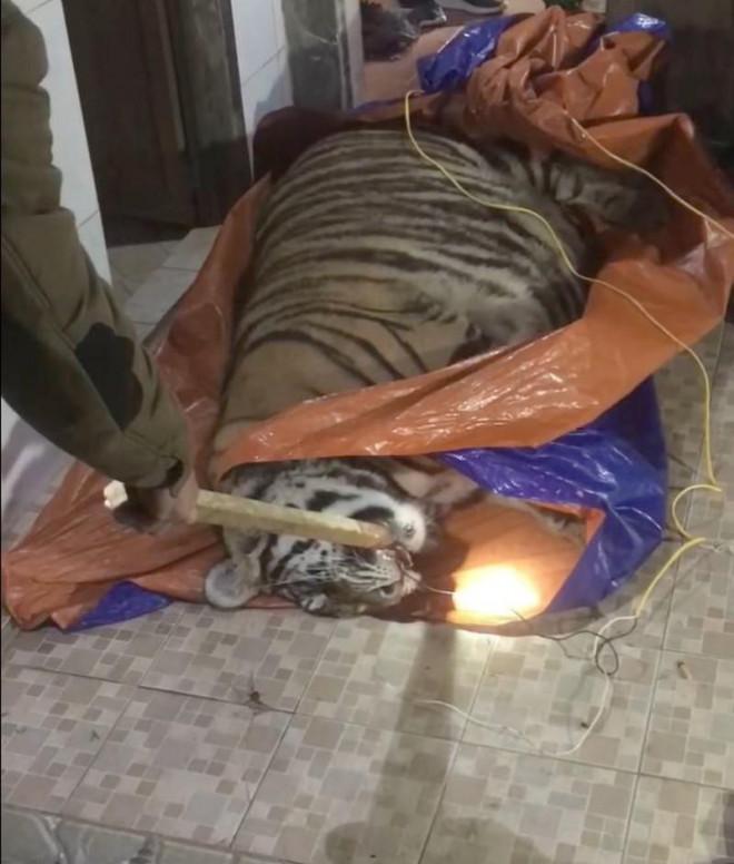 Một con hổ bị chích điện chết ở nhà dân: Chủ nhà khai gì? - 1