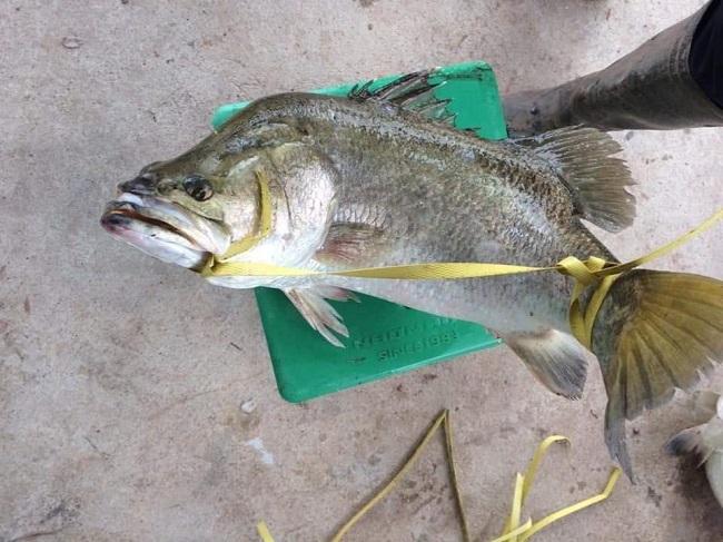 Cá vược rớt giá chỉ còn 65.000 đồng/kg, nông dân xót xa bán lẻ từng con - 1