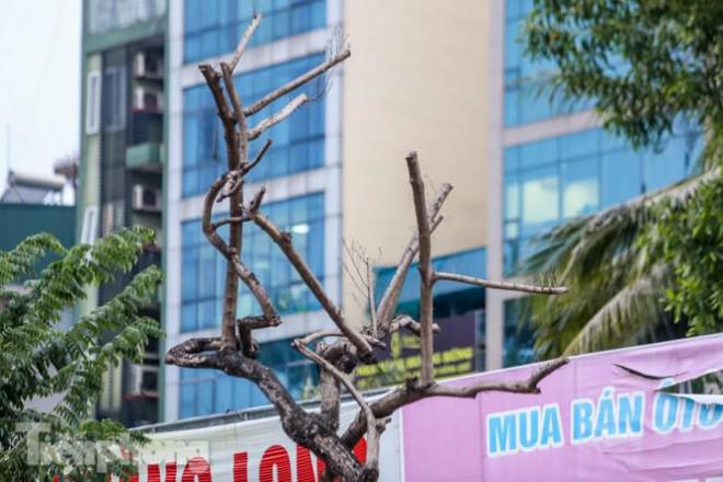 Hàng cây sưa 'trăm tỷ' chết khô trên phố Hà Nội sẽ xử lý thế nào? - 3