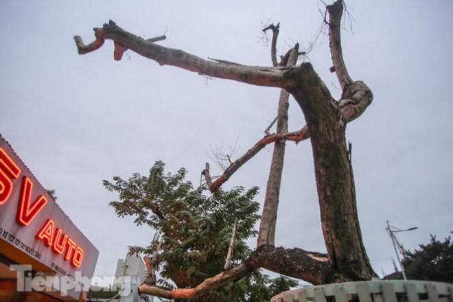 Hàng cây sưa 'trăm tỷ' chết khô trên phố Hà Nội sẽ xử lý thế nào? - 4