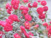 Hà Nội: Giá chỉ từ 500.000 đồng/chậu hoa hồng đẹp xao xuyến chờ khách chơi Tết