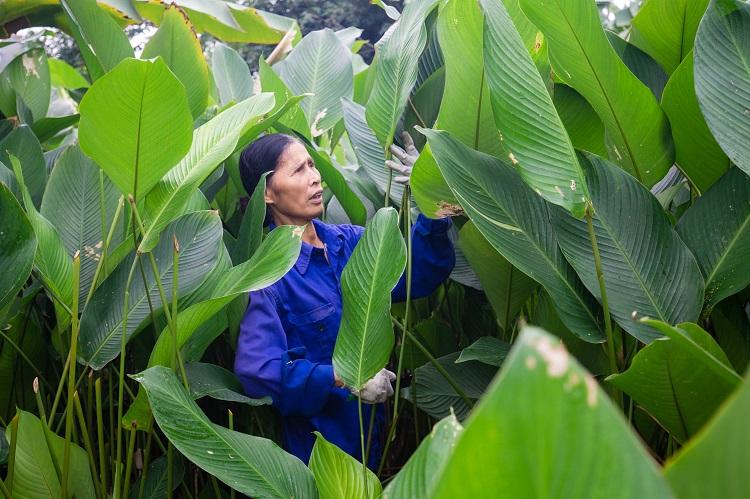 """Nông dân làng Hà Nội """"hốt bạc"""" nhờ trồng loại lá không thể thiếu dịp Tết Nguyên Đán - 1"""